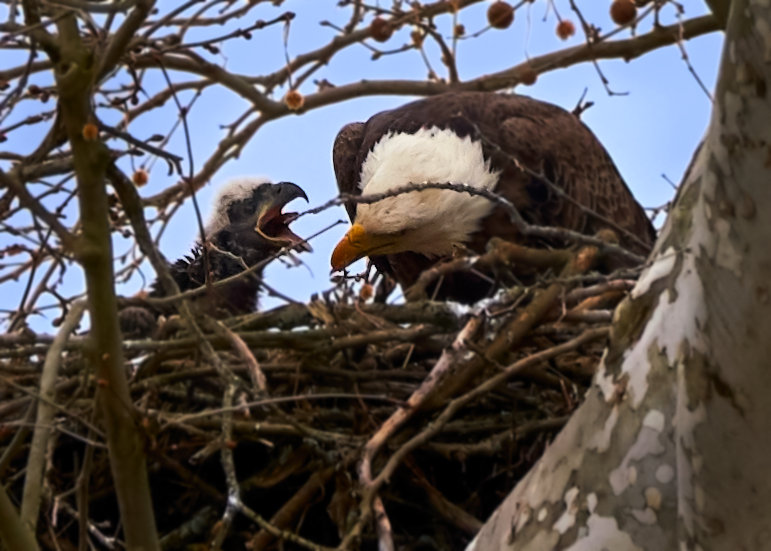 A bald eagle in its nest